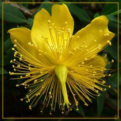 Exotic flowers : Hypericaceae Hypericum perforatum Ababoles - photo HD - Pixdaus