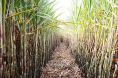 Ripples's Commodity Blog: CCEA Extends Production Subsidy To Sugar Mills