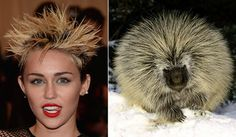 miley vs. porcupine