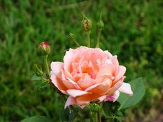 David Austin English Roses are planted in the rose garden at Shirley Plantation.
