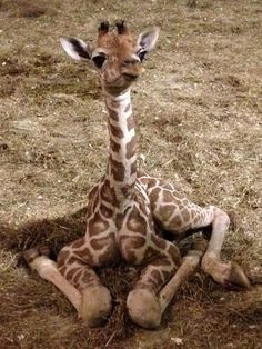pictures of aprils' baby giraffe - - Yahoo Image Search Results
