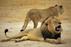 Reserva no Zimbábue recuou após dizer que poderia sacrificar 200 leões (Foto: Reprodução/Facebook/Zimparks)