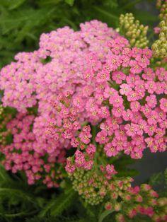 Common Yarrow 'Little Susie' (Achillea millefolium)