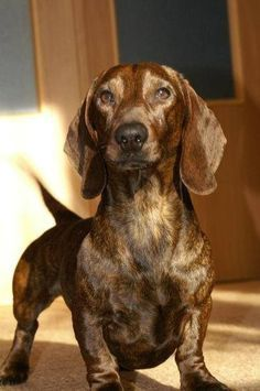 """Visit our internet site for more information on """"dachshund puppies"""". It is actually an excellent location for more information. Dapple Dachshund Puppy, Dachshund Puppies For Sale, Dachshund Breed, Dachshund Quotes, Dachshund Funny, Dachshund Love, Dachshund Gifts, Daschund, Black Dachshund"""