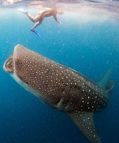Snorkeling & swimming with whale sharks in Cancun or nearby Isla Mujeres is an incredible and unforgettable experience. Find out what you need to know here.