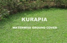 Kurapia hydroseeding at a fraction of sod, and many low water drought tolerant turf options that cost less to install and reduces water use as much as Ornamental Grass Landscape, Grass Alternative, Landscaping Shrubs, Landscaping Ideas, Porch Garden, Water Wise, Evergreen Shrubs, Cool Landscapes, Drought Tolerant
