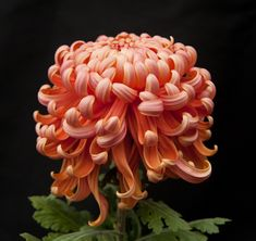 River City by King's Mums Flower Focus :: Chrysanthemums