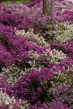 Rock Garden Plants, Backyard Plants, Pink Garden, Hillside Garden, Sloped Garden, Wild Flower Meadow, Wild Flowers, Ornamental Horticulture, Heather Plant