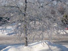 Crystal tree after ice storm in Halton Hills, Dec 2013