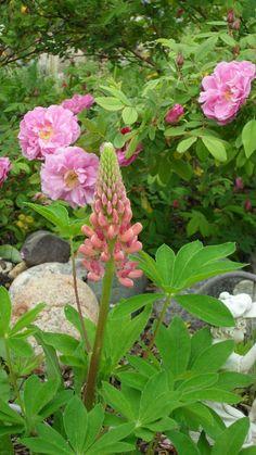 Danielle Carrier's Garden (Lumsden, SK) - pink