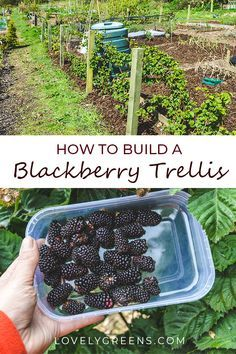 How to build a Blackberry Trellis: a simple way to grow thornless blackberries. Wood, wire, and eyelet screws are all you need to build a simple blackberry trellis. This is an inexpensive way to grow thornless blackberries in the vegetable garden. Theres a video showing how I built mine at the end of this piece #lovelygreens #growyourown #vegetablegarden #diygarden #blackberries #gardening #gardeningtips