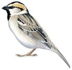 Saxaul Sparrow (Passer ammodendri)