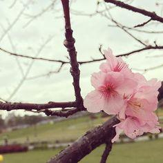 【taiwanbiyori】さんのInstagramをピンしています。 《台北/陽光運動園區。  川原の公園でチラリと早咲きの桜を発見。台湾は冬も来てないのに、もう春?笑  在河邊的公園發現了幾朵已經開了的櫻花。台灣的冬天都還沒來,就已經變春天了嗎?哈  #taiwanbiyori #台湾日和 #taiwan #台湾 #台灣 #台北 #taipei #台湾観光 #台湾旅行 #台湾情報 #旅行 #travel #安坑 #桜 #さくら #春  #sakura #河津桜 #pink #桜色 #櫻花 #陽光運動園區》