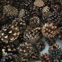 Cones of pinus mugo. Шишки сосны горной в питомнике Дуброво. Собираем семена. Mugo Pine, Plant Nursery, Yule, Pine Cones, Plants, Food, Xmas, Vivarium, Essen