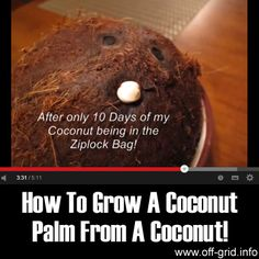 How to Grow a Coconut Palm from a Coconut! - Off-Grid (Don't know why I'd want to grow a coconut, but there's the intel! Fruit Trees, Trees To Plant, Palm Trees, Organic Gardening, Gardening Tips, Growing Raspberries, Raised Bed Garden Design, Grow Your Own, Growing Plants