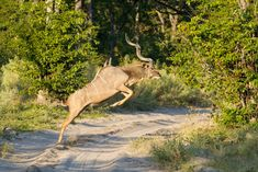Greater kudu bull jumping across a sandy road, Etosha National Park. #travel #safari #Africa #wildlife #wild #nature #animals #antelope #kudu #male #jump #horns African Animals, African Safari, Animals With Horns, Horn Of Africa, Wild Dogs, East Africa, Africa Travel, Predator, Habitats