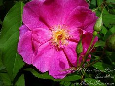 'Swamp Rose' - R. Palustris