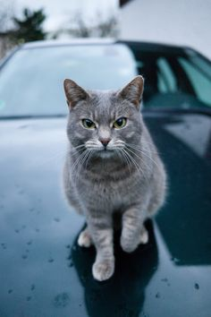 1000 images about cats 39 n cars on pinterest cars. Black Bedroom Furniture Sets. Home Design Ideas