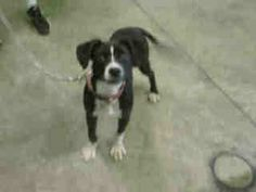A1475211I am an unaltered female, black and white Pointer mix.  The shelter thinks I am about 7 months old. I weigh approximately 24 pounds.  I have been at the shelter since May 02, 2014.Pointer mix7 moSouth Los Angeles Animal Care and Control Center