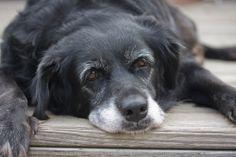 Cuidando do seu cachorro na melhor idade: veja dicas para cuidar dos cães idosos