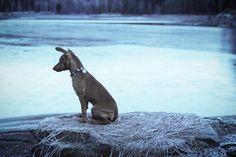 ❄️ #minpin #miniaturepinscher #dvergpinscher #hund #dog #valp #puppy #snow #ice #frozen #winter