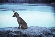 ❄️ #minpin #miniaturepinscher #dvergpinscher #hund #dog #valp #puppy #snow #ice #frozen #winter