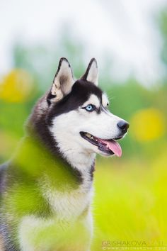 Siberian Husky beauty!  By Grishakova Photography.