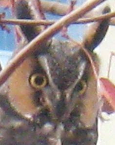 Backyard Visitor -- Great Horn Owl