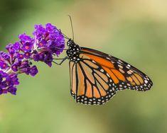 Papillon, Insectes, Nature, Fleur, Aile, Été