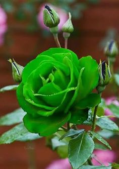 Rose Gardening For Beginners Beautiful Flowers Wallpapers, Beautiful Rose Flowers, Rare Flowers, Exotic Flowers, Amazing Flowers, Green Rose, Green Flowers, Rosa Rose, Rose Pictures