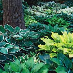 Hostas are among the showiest and easy-to-grow perennial plants that grow in shade. They also offer the most variety of any of the multiple shade plants. Choose from miniatures that stay only a couple of inches wide or giants that sprawl 6 feet across or more. Look for leaves in shades of green, blue, white, chartreuse, and gold, with many cultivars being variegated. Some hosta flowers are very fragrant. Hostas are hardy in Zones 3-8.