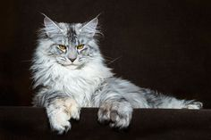 maine-coon-cat-photography-robert-sijka-17-57ad8ed924355__880
