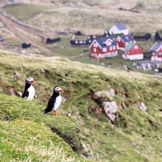 Puffins everywhere on the wonderful island of Mykines • ✨✨ •  •  #faroeislands #visitfaroeislands #mountains #nature #visualsoflife #travel #travelgram #wanderlust #passionpassport #instagood #watchthisinstagood #artofvisuals #beautifuldestinations #landscape #instatravel #vscocam #lonelyplanet #picoftheday #liveauthentic #aroundtheworld #wild #animals #photooftheday #hiking #wildernessculture #earthpix #natgeo #neverstopexploring #canon_photos #huffpostgram