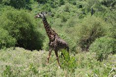 Giraffe at Lake Manyara NP