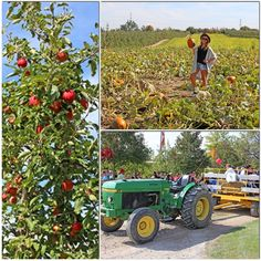 It's apple harvest time! Check out my recent trip to the apple farm to find out which apples are in season!  www.chelseacrescent.ca #apples #harvest #red #green #local #locavore #healthyliving #chudleighs #pumpkins #getoutdoors #farm #fall #anappleaday