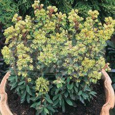Euphorbia x martinii 'Tiny Tim', Tiny Tim spurge, Exposure: Part sun/part shade, Spread: 1ft, Flower Time at Peak: May, Jun