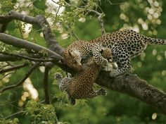 Hang on baby! African Leopard assisting cub.