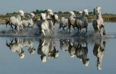 camargue horses in the pond #photographytalk #amazingphotographs