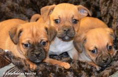 Gorgeous Jug babies - Designer and Cross Breed Puppies For Sale