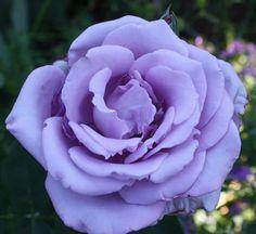 Lavender Rose Pictures | WeNeedFun