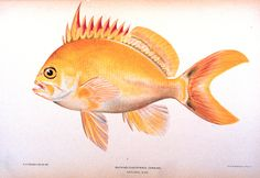 """NOAA Photo Library -- Anthias fuscipinnis Jenkins. In: """"The Shore Fishes of the Hawaiian Islands, with a General Account of the Fish Fauna"""", by David Starr Jordan and Barton Warren Evermann. Bulletin of the United States Fish Commission, Vol. XXIII, for 1903. Part I. P. 574, Plate XV."""