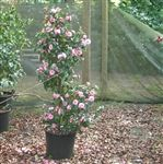 Buy quality camellia hybrid Spring Festival as a mail order plant from British Experts. Mail Order Plants, Spring Festival, Camellia, Om