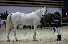 Shagya Arabian stallion Shogun