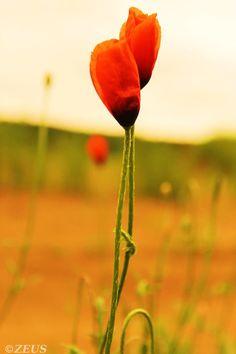 Poppy Love. by ZEUS1001