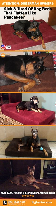 Doberman beds! Big dogs like Dobermans love the Big Barker Dog Bed.  See more pictures at http://bigbarker.com