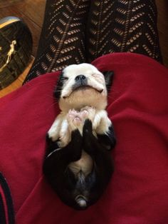 And this fellow! HOW MANY PUPPIES DO WEIRD, ADORABLE THINGS WITH THEIR FEET? | 21 Puppies So Cute You Will Literally Gasp And Then Probably Cry