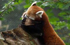 baby red panda - Google Search