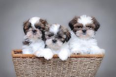 Os cachorros mais fofos do mundo estão aqui, em uma seção especial com as 7 raças dos cachorros mais fofos do mundo, pelo menos na minha humilde opinião...
