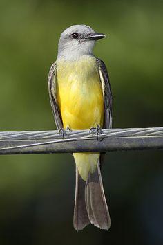 Western Kingbird, Tyrannus-melancholicus, is a very large tyrant flycatcher: S Arizona & the lower Rio Grande Valley of Texas through Central America, S America as far south as central Argentina & W Peru, Trinidad & Tobago