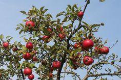 Cómo tener los mejores frutales..., pero en macetas